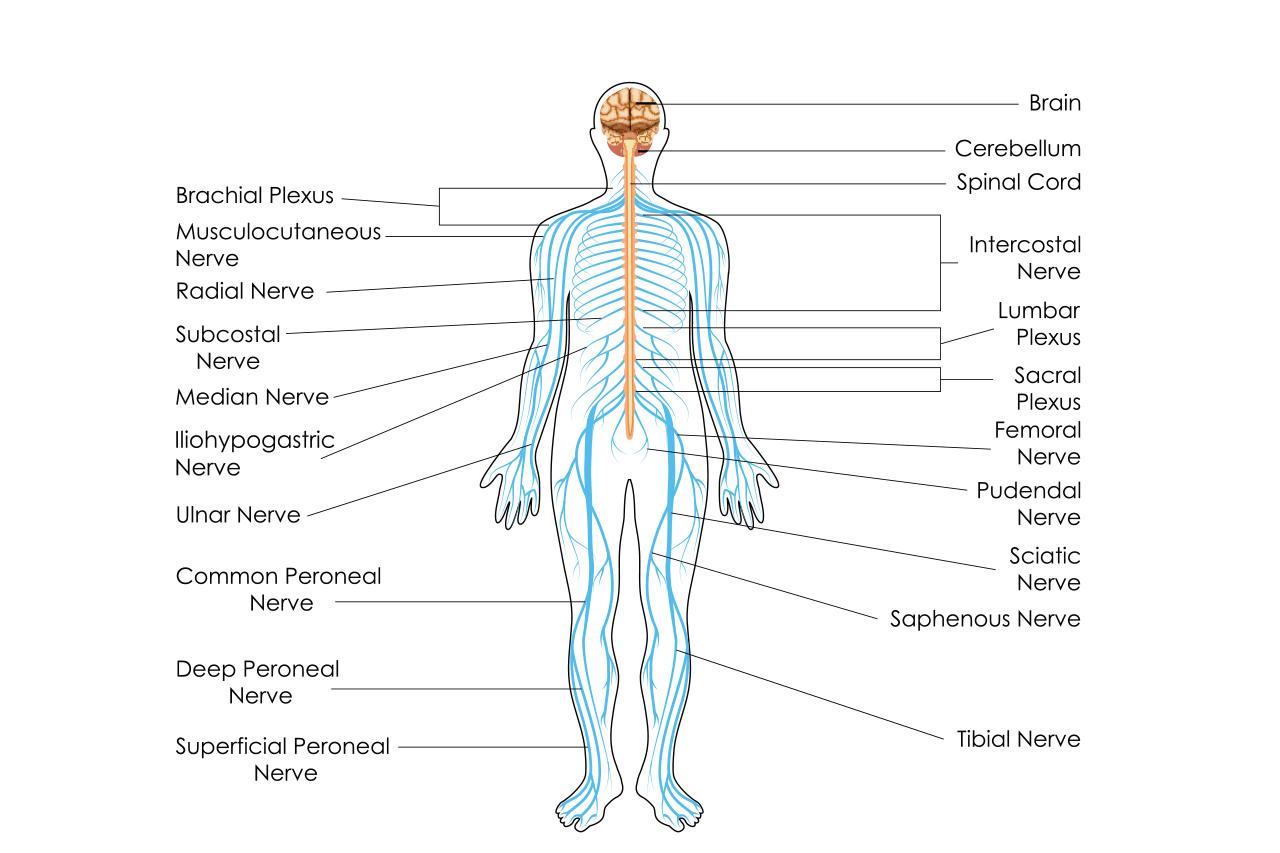 中枢神経と末梢神経